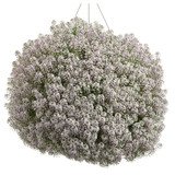 Blushing Princess Sweet Alyssum Covered in Blooms in Hanging Basket
