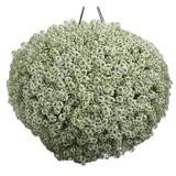 White Knight® Sweet Alyssum in Hanging Planter