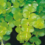 Goldilocks Creeping Jenny Foliage