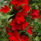 Sun Parasol® Giant Red Emperor Mandevilla Flower Petals