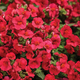 Sunsatia® Cranberry Red Nemesia Blooms and Flower Buds