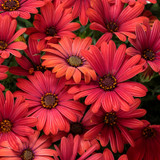 Bright Lights Red African Daisy Flowers