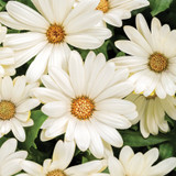 Bright Lights White African Daisy Flowers Close Up