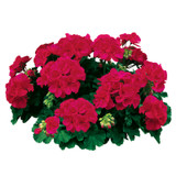 Americana® Cherry Rose Zonal Geranium Blooms Foliage and Flower Buds