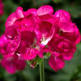 Americana® Violet Ice Zonal Geranium Flower Cluster Close up