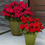 Boldly® Dark Red Geranium in Patio Planters