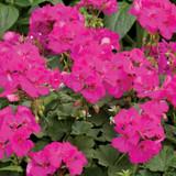 Boldly® Lavender Geranium Flowers and Foliage