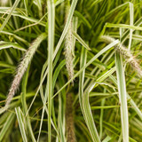 Graceful Grasses® Sky Rocket Fountain Grass Seed Heads