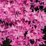Sunstar® Lavender Egyptian Star Flower Blooms Close Up