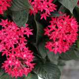 Sunstar® Red Egyptian Star Flower Flowers and Foliage