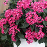 Sunstar® Rose Egyptian Star Flower in Garden Planter
