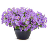 Supertunia Blue Skies Petunia Plant Covered in Blooms