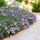 Supertunia Bordeaux Petunia as garden border next to garden path