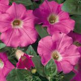 Supertunia® Giant Pink Petunia Foliage and Flowers