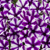 Supertunia Mini Vista Violet Star Petunia Flowers Close Up