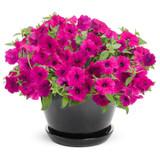 Supertunia Royal Magenta Petunia in Black Garden Planter