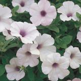 Supertunia® Trailing Silver Petunia Flowers and Foliage