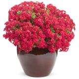 Intensia® Red Hot Annual Phlox in Decorative Pot