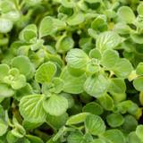 Proven Accents® Cerveza 'n Lime® Plectranthus Foliage