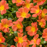 Mojave Tangerine Purslane Flowers and Foliage