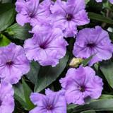 Machu Morado Mexican Petunia Flowers and Foliage