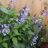 Rockin' Blue Suede Shoes Salvia Plant Growing Next to Fence