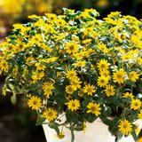 Sunbini® Creeping Zinnia Growing in the Sunlight