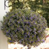 Whirlwind® Blue Fan Flower in Hanging Basket