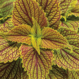 ColorBlaze® Golden Dreams Coleus Foliage