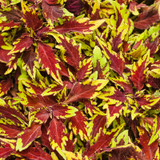 ColorBlaze Royale Apple Brandy Coleus Foliage Close Up