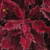 ColorBlaze® Royale Cherry Brandy® Coleus Foliage