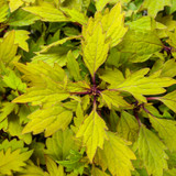 ColorBlaze® Royale Pineapple Brandy Coleus Foliage