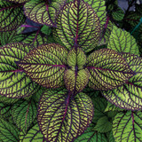 Fishnet Stockings Coleus Foliage
