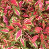 Pink Chaos Coleus Foliage