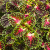 ColorBlaze® Strawberry Drop Coleus Foliage