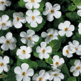 Snowstorm® Giant Snowflake® Bacopa Flowers and Foliage
