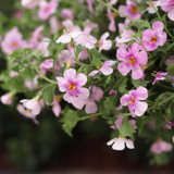 Snowstorm® Pink Bacopa Flowers and Foliage