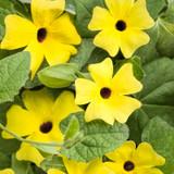 Lemon A-Peel Black-Eyed Susan Vine Flowers and Foliage 1