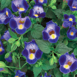Catalina Midnight Blue Wishbone Flower Flowers and Foliage Close Up