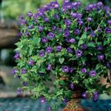 Summer Wave® Large Violet Wishbone Flower in Decorative Patio Tabletop Planter