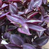 Purple Wandering Jew leaves