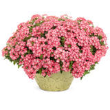 Superbena Royale® Cherryburst Verbena in Decorative Planter