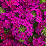 Superbena Royale® Plum Wine Verbena Blooms Up Close