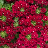 Superbena Royale Romance Verbena blooms