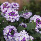 Superbena Sparkling Amethyst Verbena Flowers and Foliage