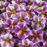 Superbells Holy Smokes! Calibrachoa Flowers Close Up