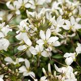 Señorita Blanca® Spider Flower Flowers Close Up