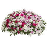 Blind Love Mixed Annual Combination in Hanging Basket