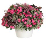 Gloria Rose Mixed Annual Combo in Garden Planter