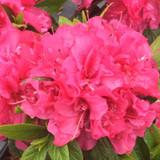 Perfecto Mundo® Double Dark Pink Azalea Flower and Leaves Close Up
